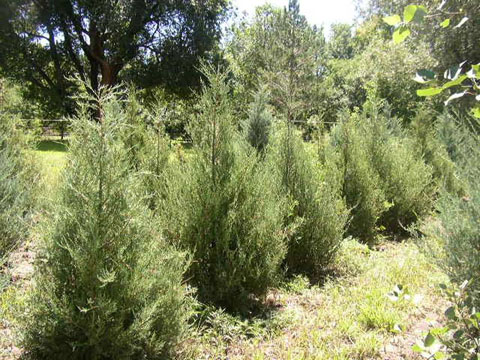 CASSIDY FARMS - Nursery Tree & Shrub List - Rocky Mountain Juniper