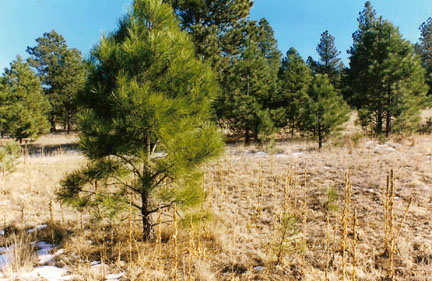 Ponderosa Pine - 4-15 ft. - also know as western white pine. Medium green  long needled pine. Larger Sizes of Ponderosa Pine are available in  collected ... - CASSIDY FARMS - Nursery Tree & Shrub List - Ponderosa Pine